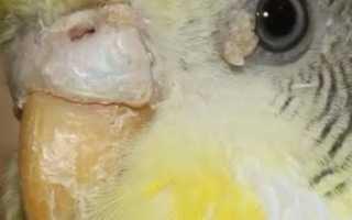 Симптомы и методы лечения клеща у попугая