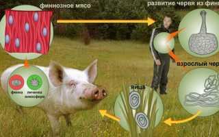 Особенности биологии и цикла развития свиного цепня