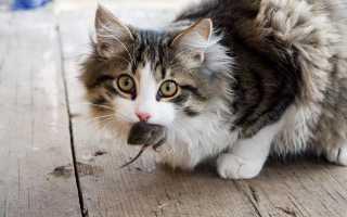 Бывают ли у кошек острицы, симптомы и лечение заболевания