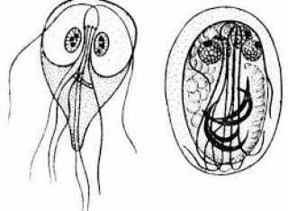 Где обитают лямблии в организме человека