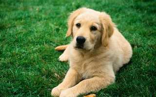 Как вывести глистов у собак самостоятельно: дать таблетку, лечение