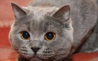 Как можно заразиться токсоплазмозом от домашней кошки?