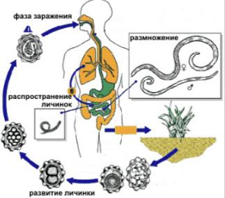 Жизненный цикл аскариды человеческой: схема и описание