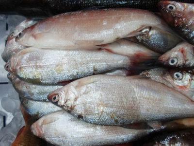 Пелядь: рыба описторхозная или нет?