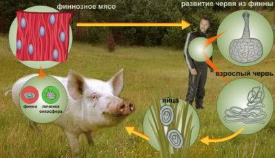 Цикл розвитку свинячого ціп'яка » журнал здоров'я iHealth