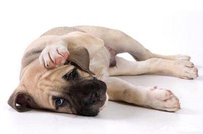 Глисты у собаки: симптомы и лечение народными средствами