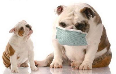 Токсоплазмоз у собак: симптоми » журнал здоров'я iHealth 3