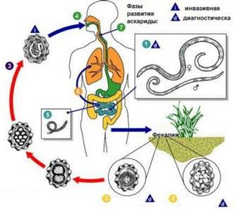 Как можно заразиться аскаридами человеку