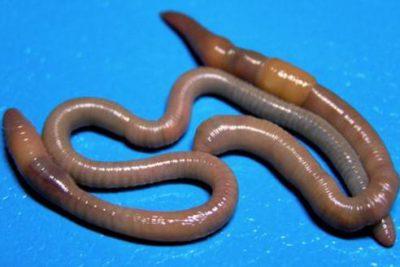 Как очистить организм от паразитов в домашних