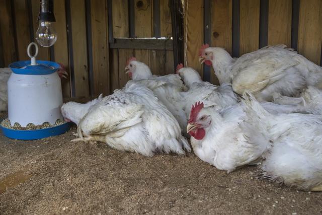 Глисты у курицы: симптомы и лечение народными средствами