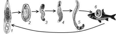 Опасность в рыбе: кошачья (сибирская) двуустка у человека