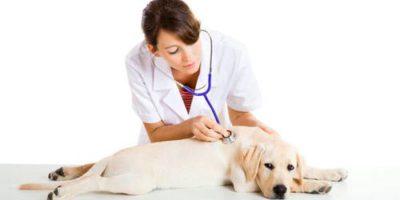Как долго лечится саркоптоз у собак: схема лечения и препараты