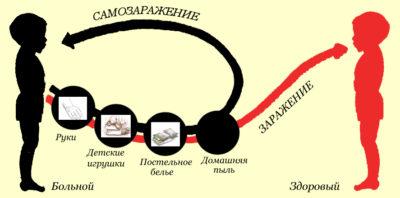 Жизненный цикл развития острицы