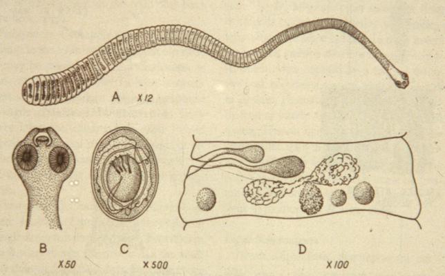 Карликовый цепень жизненный цикл — parazit24