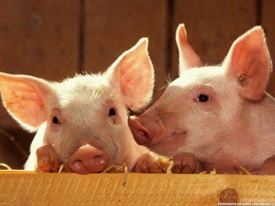Таблетки від глистів для свиней » журнал здоров'я iHealth
