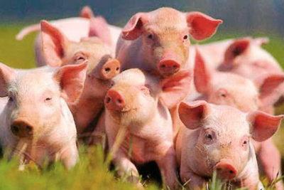 Глисты у поросят и свиней: признаки, симптомы, лечение