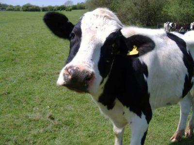 Среда обитания и паразитирования бычьего цепня