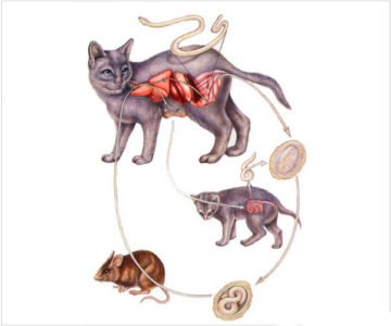 Берегите своих питомцев: лечение токсокароза у кошек