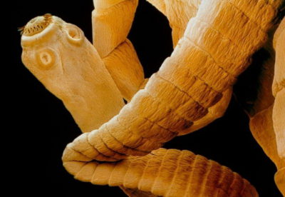 Цикл развития ленточного червя: схема и описание