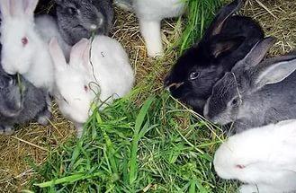 Глисти у кроликів: симптоми » журнал здоров'я iHealth 6