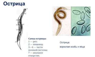 Основные меры профилактики энтеробиоза (остриц) у человека