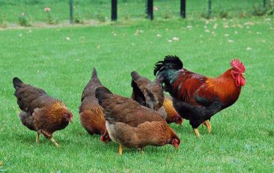 Глисты у кур: чем вывести паразитов и как не допустить заражение